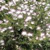 Calliandra brevipes. Plumerillo rosado, esponja, esponjita, manduruvá