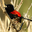 Red-backed Fairy Wren