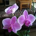 Moth Orchid