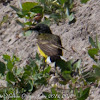 Black-headed Yellow Wagtail;