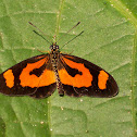 Orange-streak Acraea