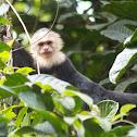 White Faced/White Headed Capuchin