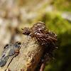 Brown Centipede / Stonoga