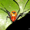 Three striped Red Crab Spider