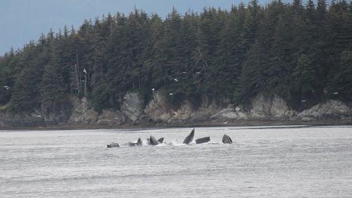 "IMG_4103 - Humpback whales ""bubble feeding"" in Auke Bay, outside Juneau."