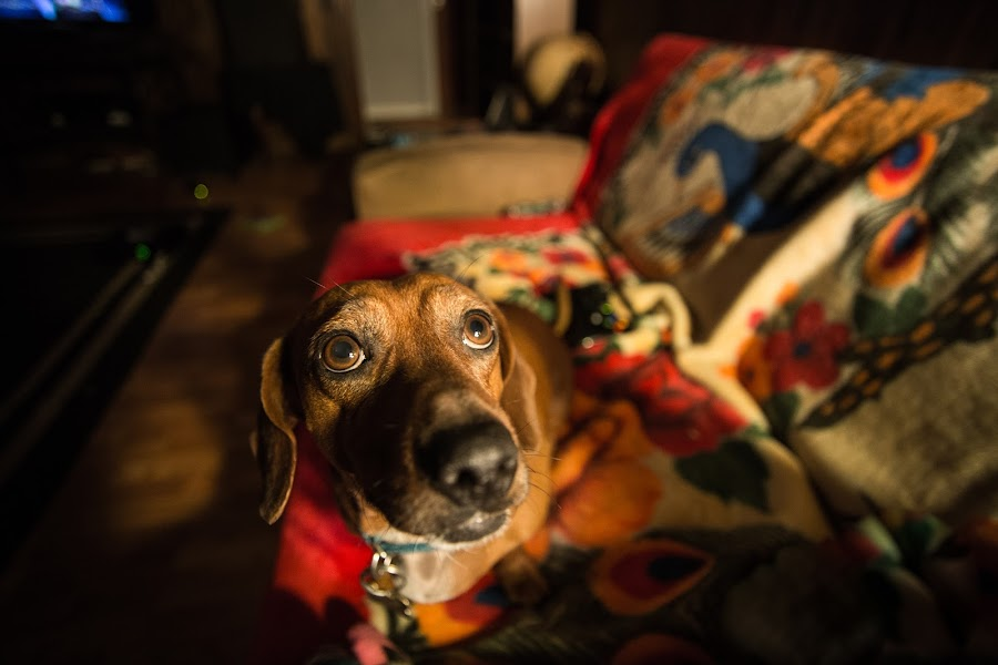 Philly by Brent Butterworth - Animals - Dogs Portraits