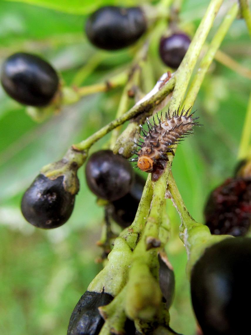 Metallic Blue Lady Beetle larva