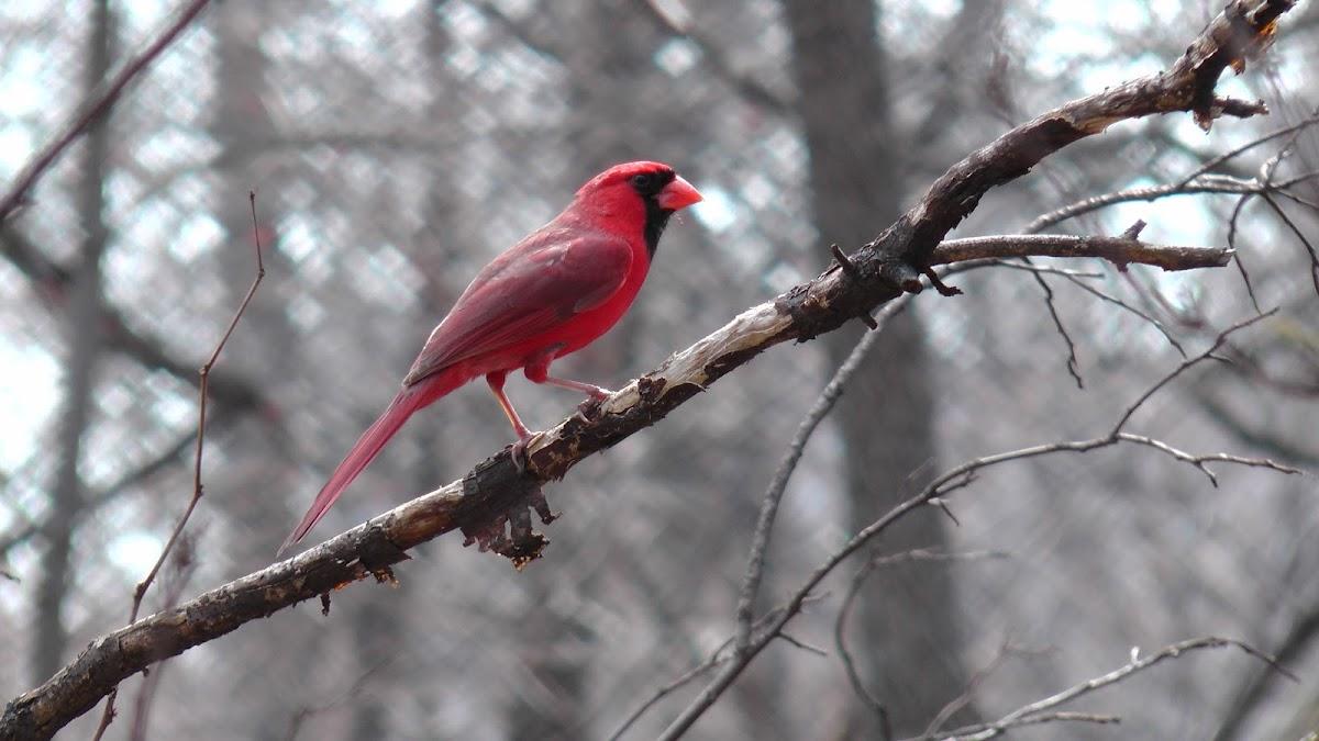 North Eastern Cardinal male