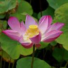 Sacred Lotus/Heilige Lotus