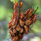 Leaf-footed bug (Nymphs)