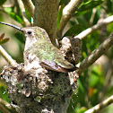 Anna's Hummingbird (female and young)