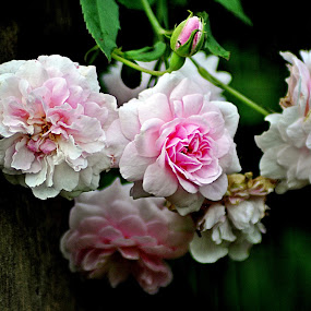Pink Roses by Omrin Kamarudin - Flowers Flower Gardens