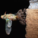 Annual Cicada Moulting