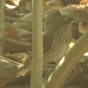 Zorzal pardo (Pearly-eyed Thrasher)