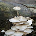 Porcellain Fungus/Porcelein Zwam