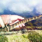 Banded Watersnake