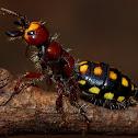 Wingless Flower Wasp, ( Female )