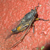 Cicadetta sp.?