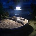 Indoor Crocodile