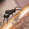 Mediterranian Grass Spider