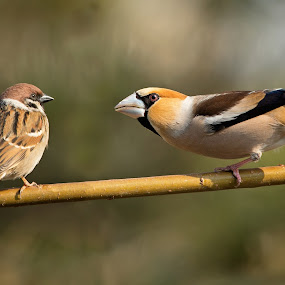 Coccothraustes coccothraustes vs passer by Dragomir Taborin - Animals Birds