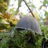fairy ink cap