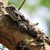 Southern tree agama (female)