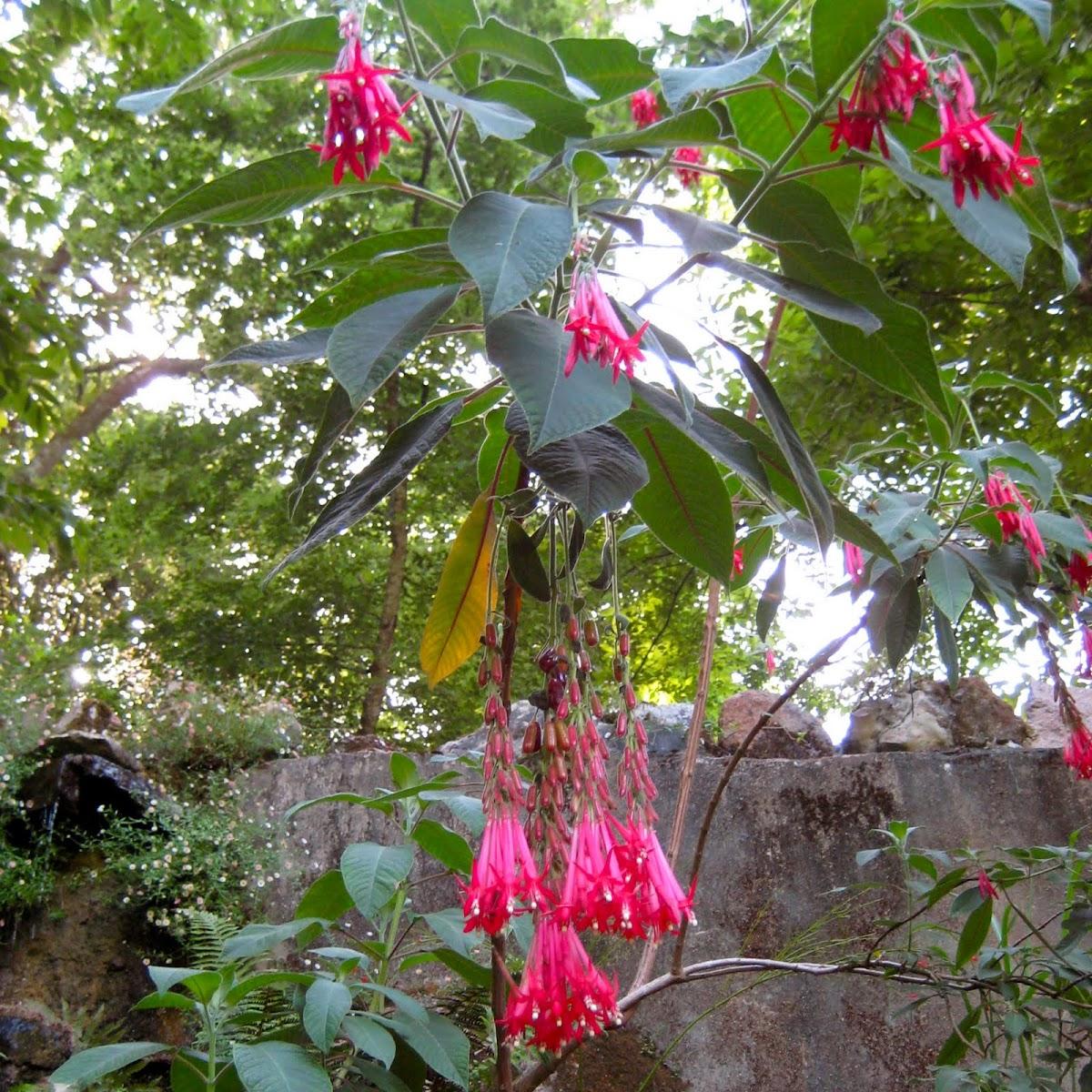 Bolivian Fuchsia