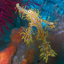Yellow Ornate Ghost pipe fish