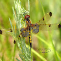 Calico Pennant Dragonfly (F)