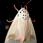 Tiger moth and eggs