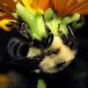 Common Eastern Bumble Bee