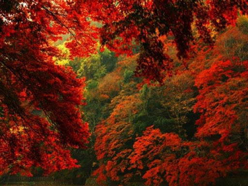 Red Forest Wallpapers II