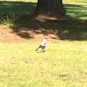 Australian magpie (white backed form)