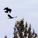 Snowy Owl (harassed by crows)