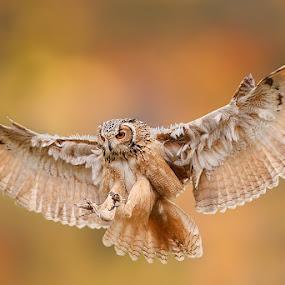 Owl by Stefano Ronchi - Animals Birds