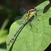 Black-shouldered Spinyleg Dragonfly