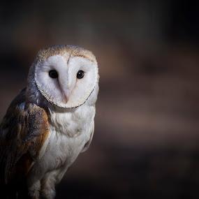 Wise One by Andrea Silies - Animals Birds ( bird, nature, 70-200mm, barn owl, world bird sanctuary, owl, d610, wildlife, andrea silies, nikon, tamron, animal,  )