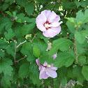 Rose of Sharon - Straucheibisch