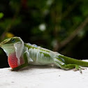 Carolina Anole Shedding