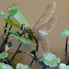 Common Green Darner dragonfly (female, oviposition)