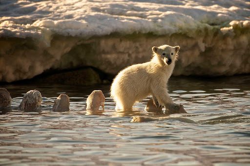 Svalbard-Fram-polar-bear-cub-water - Follow young polar bears as they take to water during your voyage to Norway's Svalbard islands on Hurtigruten's cruise ship Fram.