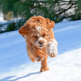 Charge!!! by Steven Liffmann - Animals - Dogs Running ( snow, intense, puppy, cavapoo, dog, running,  )