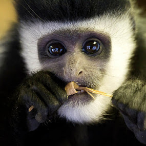 Human Stare by Sam W - Animals Other Mammals ( colour, colobus guereza, sweet, old world, stare, baby, cute, juvenile, monkey, colobus, portrait, mammal )