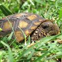 Gopher Tortoise Juvenile