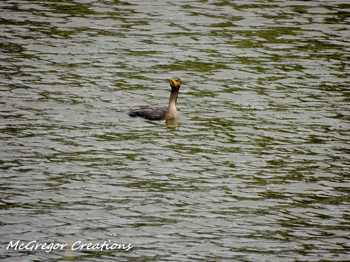 double breasted cormorant juvenile