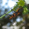 Milkweed Assassin Bug (with prey)