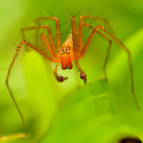 spider  by Supriadi Lee - Animals Insects & Spiders