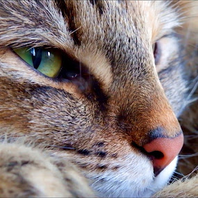 Zora Close Up by Sheila Marques - Animals - Cats Portraits (  )