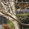 Eastern Bluebird & American Goldfinch